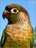 how to make green cheek conure stop screaming