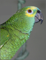 about green parrot training temperament characteristics