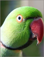 Indian+ringneck+parrot+pictures