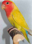 how to train a lovebird to sit on your finger